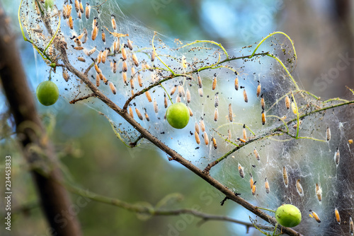 Colony of moth larvae closeup in the web on tree