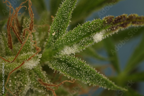 Fotografiet white mold on the plant cannabis