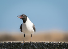 Laughing Gull, Leucophaeus Atricilla, In A Series Of Poses Stands On A Concrete Post Against Blue Sky