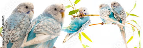 Fototapeta little blue wavy parrots on white background isolated