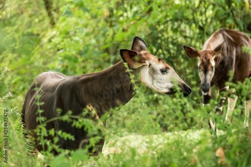 Photo Okapi (Okapia johnstoni), forest giraffe or zebra giraffe, artiodactyl mammal na