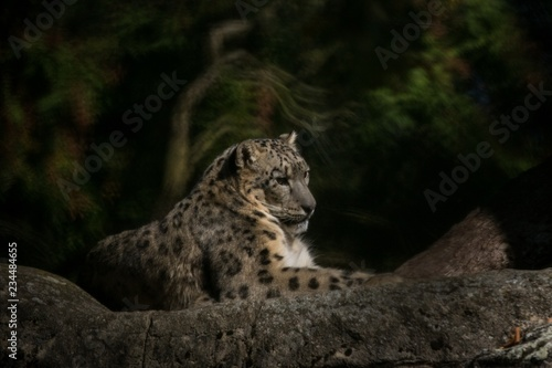 A Himalayan snow leopard (Panthera uncia) lounges on a rock, beautiful irbis in captivity at the zoo, National Heritage Animal of Afghanistan and Pakistan, elegant cat having rest on the stone