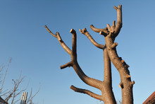 Common Pruning Mistake. Cutting Tree Branches. Bad Tree Branches Pruning.
