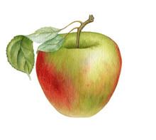 Watercolor Drawing Apple