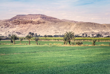 Sugar Cane Plantations In Egyp...