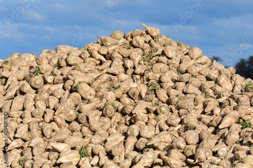 Photo Zuckerrüben nach der Ernte auf einem Feld