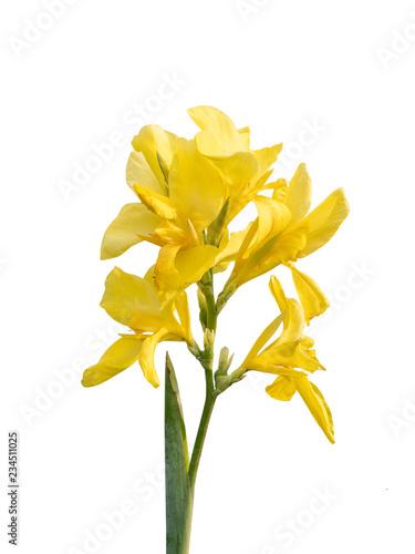 Dwarf Canna flower,canna indica (Indian shot, Canna) , yellow flora, delicate petals Canvas Print