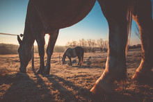 Horses Together Grassing On Winter Pasture