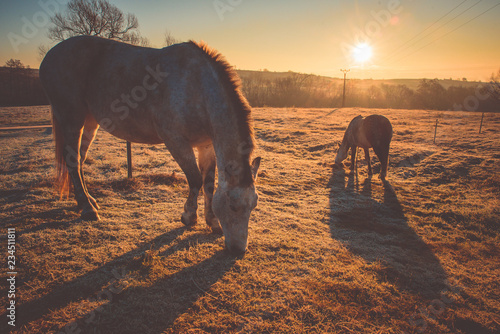 Poster Marron chocolat Sunrise light, horses on autumn pasture. Farmland, Russia