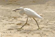 White Heron At The Beach