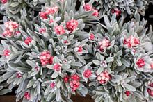 Helichrysum Sanguineum Flowers...