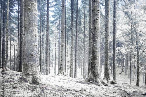 Fototapeta Beautiful winter season cold snowy forest landscape. obraz