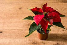 Christmas Poinsettia Flower On Wooden Table. Copyspace