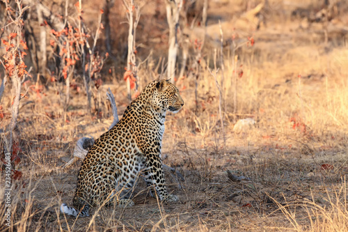 Leopard male in orange dry grass. African leopard (Panthera pardus) on the dry savannah.