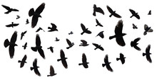 Flock Of Birds Isolated