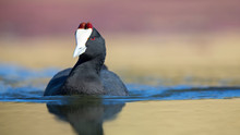 Lone Red Knobbed Coot Swimming On A Pond With Perfect Reflection
