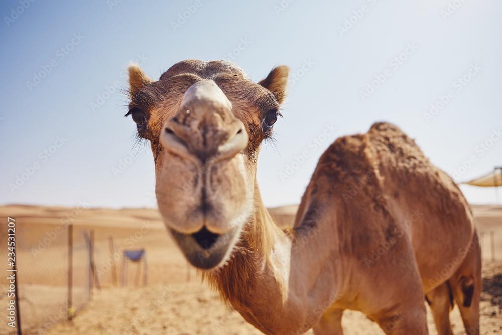 Fototapeta Curious camel in desert