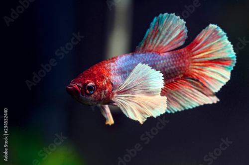 Photo  Very beautiful Dumbo Ear Betta fish
