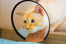 Thai White With Red Marks Cat Wearing Cone On Collar