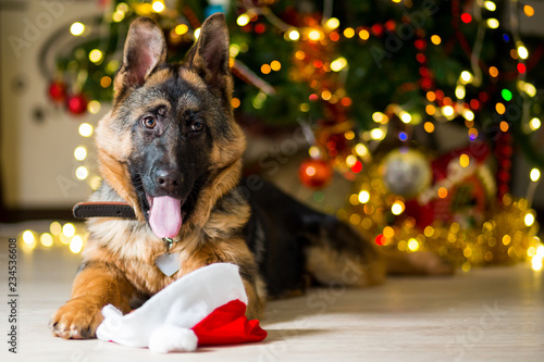 Fotografija German Shepherd dog at the age of 3 months is lying on the floor near a Christma