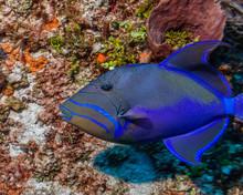 Maldives. The Royal Triggerfis...