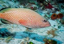 Maldives. Handsome Red Hind Gr...