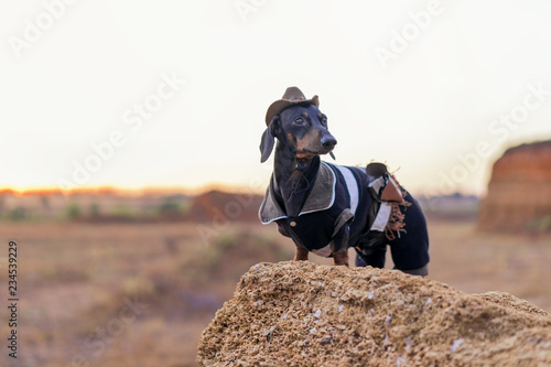 Fotografija western cowboy sheriff   dachshund dog with gun, wearing american hat and cowboy