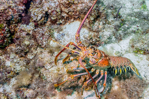 Maldives. Caribbean lobster/Maldives. Caribbean lobster panulirus argus among the coral reef coastal shelf.