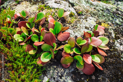 Green and red leaves of bergenia crassifolia close up Fototapeta