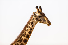 Close Up Of Giraffe Against Cl...