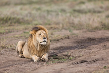 Lion Resting In The Open Plains Of The Serengeti National Park