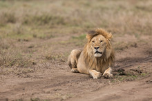 Lion Resting In The Open Plain...