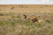 Pair Of Lions Resting In The O...