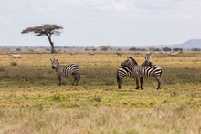 Group Of Zebras Resting In The...