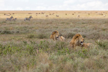 Pair Of Lions Resting In The Open Plains Of The Serengeti National Park