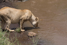 Lioness Drinking Water From Stream