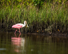 Roseate Spoonbill Standing In Marshland