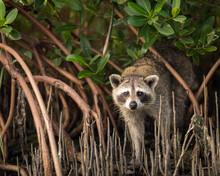 Portrait Of Raccoon Standing I...