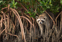 Raccoon Standing In The Mangrove Roots