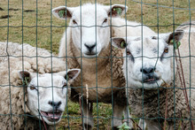 Three Funny Sheep