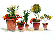 Blooming Indoor Flowers Red And White In Pots On A White Background. Watercolor Illustration