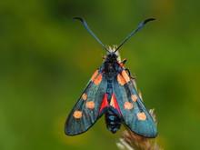 Burnet Moth Spotted