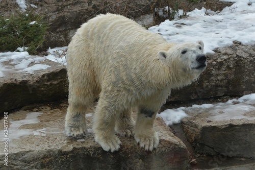 Polar bear at zoo
