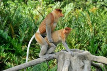 Proboscis Monkey Family Mating In The Rain Forest, Borneo, Malaysia