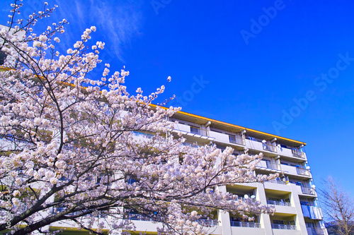 Fotografiet  満開の桜が咲く団地