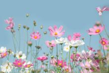Bueatiful Cosmos Flower On Blue Sky Background.