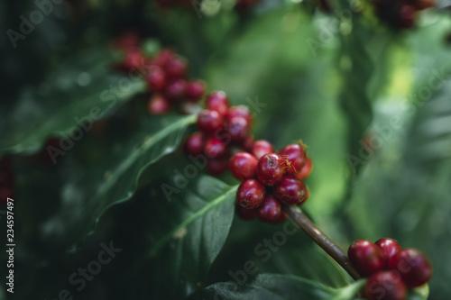 Fotografía red cherry coffee beans Arabica In nature
