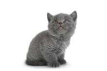 Scottish Fold Gray Cat