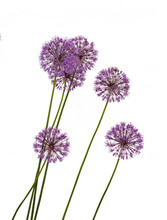 Decorative Bow (Allium)