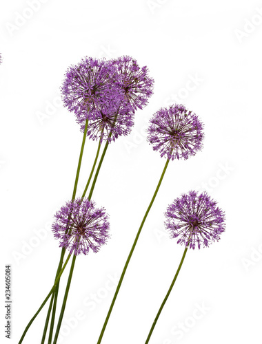 Decorative bow (Allium) Canvas Print